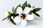 Manuka_blomst